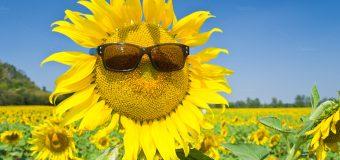 Cùng ghé thăm cánh đồng hoa hướng dương Nghệ An đang nở vàng rực