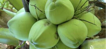 Đặc sản dân dã nơi thôn quê xứ Thanh – Dừa Hoằng Hóa